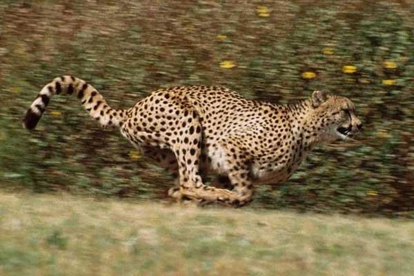 le felin le plus rapide